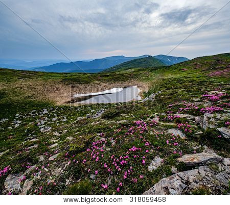 Pink Rose Rhododendron Flowers On Summer Mountain Slope And Melting Snow. Carpathian, Chornohora, Uk