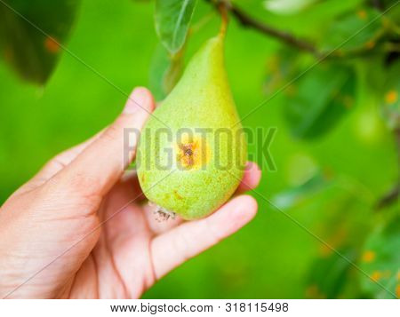 Rotten Pear In The Hand. Beginning To Rot Fruit. Wrong Pear Care. Crock Of A Rotten Pear Of Green, L