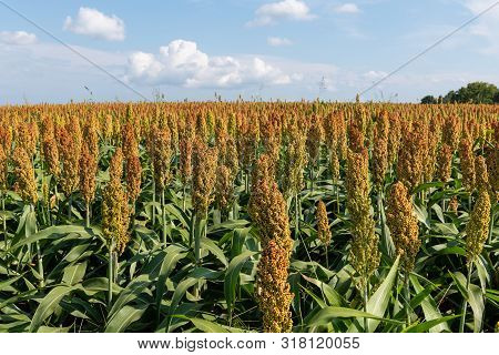 Millet Or Sorghum Cereal Field