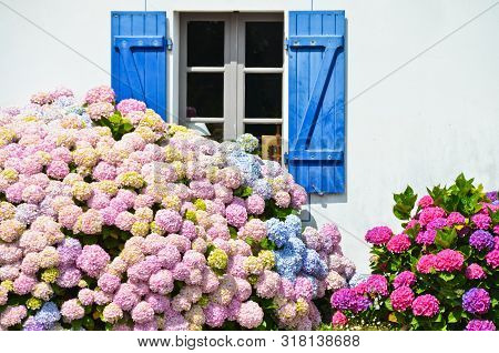 Sunny View Of A Windows Of An Old Farm House With Blue Shutters, With A Hydrangea With Pink Blossoms