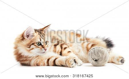 Siberian cat, a kitten playing with a cotton yarn. Isolated on white background. Purebred, red color type