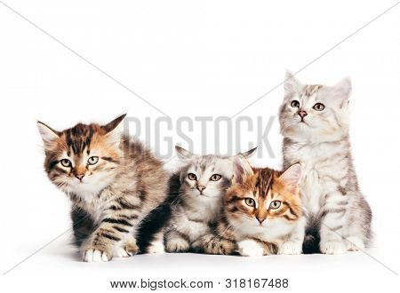 Siberian cats, portrait of four cute kittens from same litter isolated on white background. Purebred