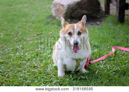 Cute Corgi Dog At The Park, Cute Welsh Corgi Dog Sit Up In The City Park. A Dog In The Grass Backgro