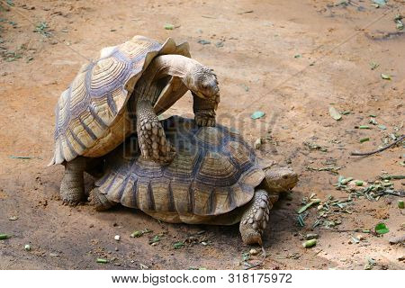 Two Giant Tortoises Making Love (copulation) At The Zoo