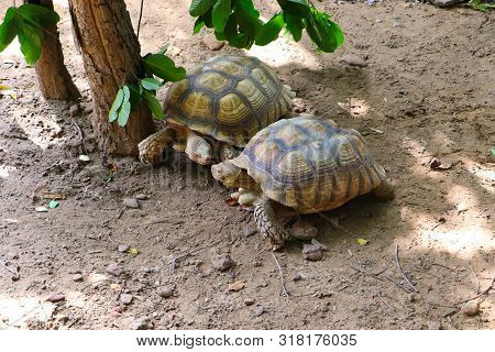 Two Giant Tortoises Are Flirting And On The Way To Copulate At The Zoo