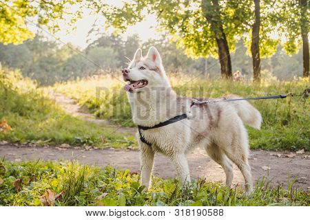 Young Husky Dog For A Walk In The Park In Autumn. Husky Breed. Light Fluffy Dog. Walk With The Dog.