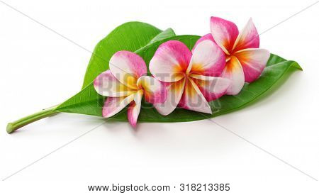 plumeria flowers and leaves isolated on white background