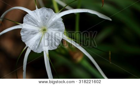 Crinum Lily Or Cape Lily Flower In The Garden.