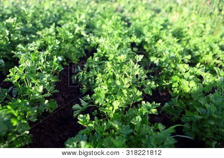 green parsley on field, agriculture