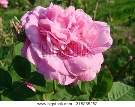 Teahouse Roses. Beautiful Flowers Of Teahouse Roses In A Garden Bed