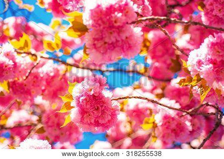 Blossom. Sacura Cherry-tree. Beautiful Nature Scene With Blooming Tree And Sunny Day. Sakura Festiva