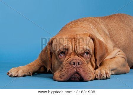 French Mastiff lying against blue background