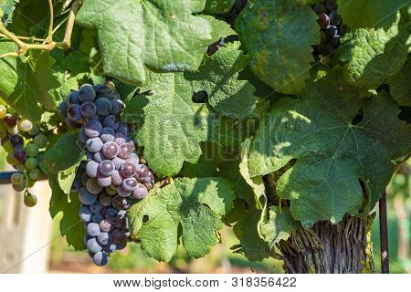 Vineyard With Growing Red Wine Grapes In Lazio, Italy