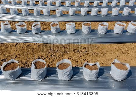 Row Of Coconut Coir In Nursery White Bag For Farm With Fertigation , Irrigation System To Be Used Fo