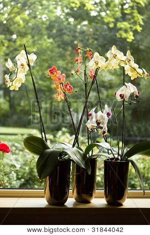 Plant Pots With Moth Orchids In Window