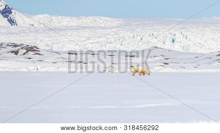 Polar bear walks against a backdrop of snowy mountains, on the fast ice in Yoldiabukta, a bay in Nordfjorden, Svalbard, a Norwegian archipelago between Norway and the North Pole.