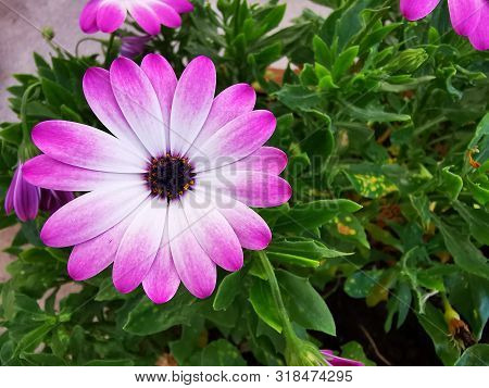 Daisy Bud Close-up. Beautiful Color Gradient Petals From White To Pink. Variety Osteospermum Pink