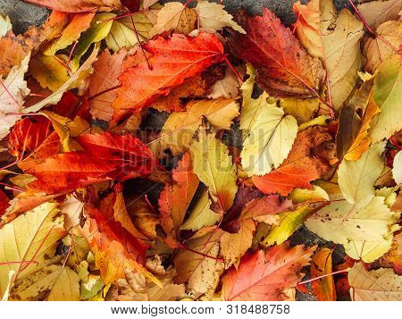 Fallen ref, yellow and orange autumn leaves poster