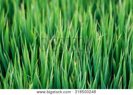 Green Grass Texture Background, Green Lawn, Backyard For Background, Wallpaper, Green Lawn Desktop P