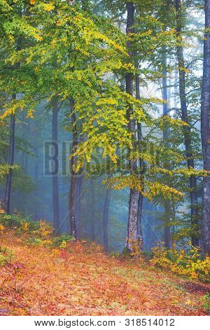 Beautiful Forest Scenery In Foggy Weather. Foliage On Trees In Amazing Fall Colors. Uncertainty Mood
