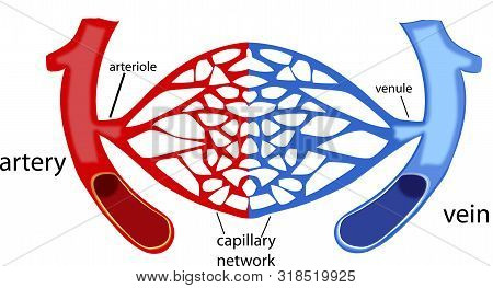 Blood Vessels, Human Body Capillaries Blood Vessels, Human Body Capillaries