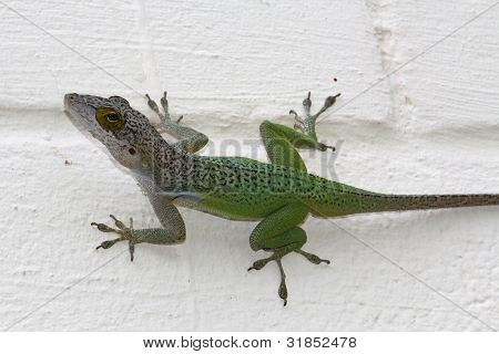 Green Antigua Chameleon on a White Painted Wall