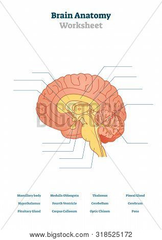Brain Anatomy Vector Illustration. Anatomical Blank Head Organ Structure. Educational Printable Sche