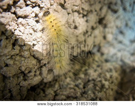 Woolly Worm  On Stone.closeup Of  A Cute Fluffy Worm In Summer In Iran.