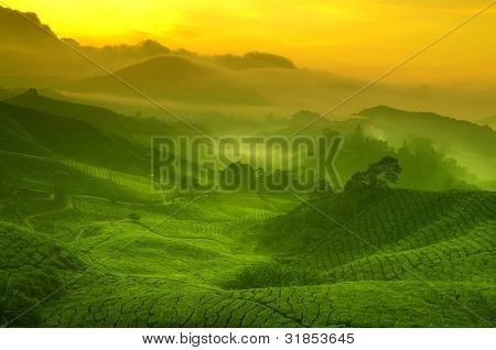 Sunrise view of tea plantation landscape at Cameron Highland, Malaysia.