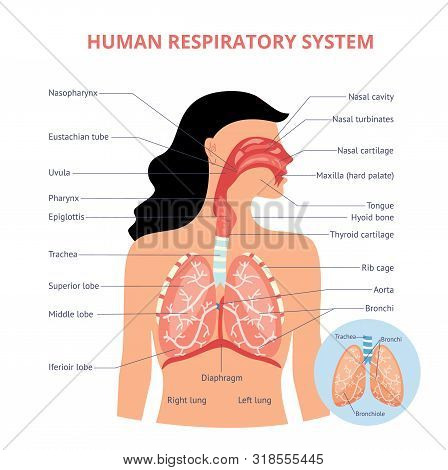 Respiratory System Of Human The Anatomy Of Airways Vector Medical Banner Or Placard Illustration Wit