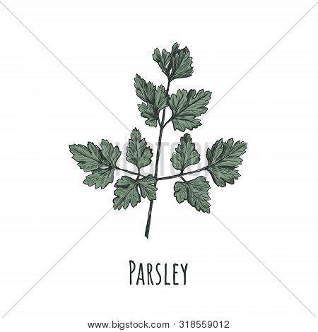 Parsley Illustration. Parsley Hand Drawing. Parsley Green