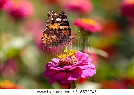 Portrait Of Painted Lady Butterfly On The Pink Flower In The Summer Garden. Photography Of Nature An