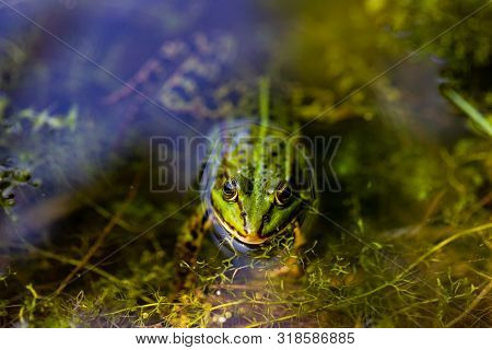 Portrait Of Green Wild Frog In The Pond. Photography Of Lively Nature And Wildlife.
