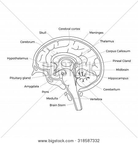 Vector Isolated Illustration Of Human Brain Components Detailed Anatomy. Medical Infographics With T