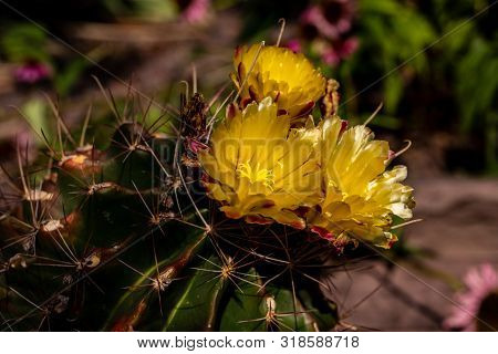Close-up Of Yellow Flowering Cactus Plant With Sharp Spines. Macro Photography Of Lively Nature.