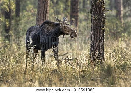 Female Moose In The Woods. Female Moose Grazing For Food At Turnbull Wildlife Refuge Near Cheney, Wa