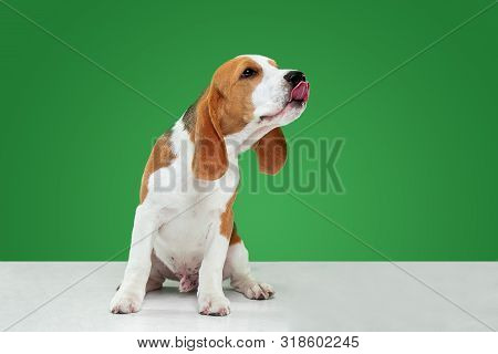 Beagle tricolor puppy is posing. Cute white-braun-black doggy or pet is playing on green background. Looks attented and playful. Studio photoshot. Concept of motion, movement, action. Negative space. poster