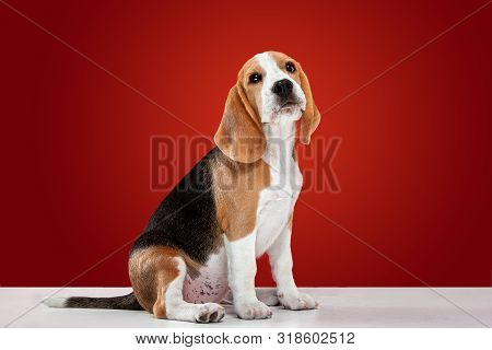Beagle tricolor puppy is posing. Cute white-braun-black doggy or pet is playing on red background. Looks attented and playful. Studio photoshot. Concept of motion, movement, action. Negative space. poster