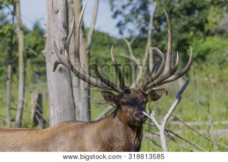 Elk - Wapiti  In A Conservation And Wilderness Area