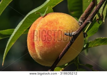 Ripe Peach Fruit Hangs On A Branch Of A Peach Tree With Leaves In The Garden. Harvesting Peaches. Cl