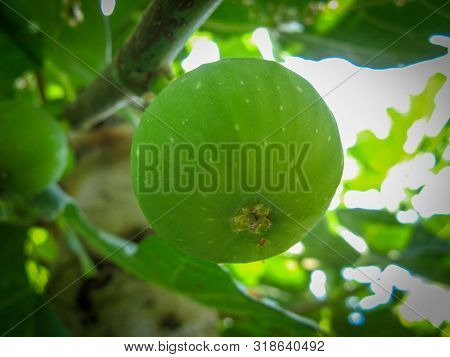 Unripe Green Fig Fig Tree. Closeup Of Young Fig On The Branch Of A Fig Tree In Summer. Green Fresh F