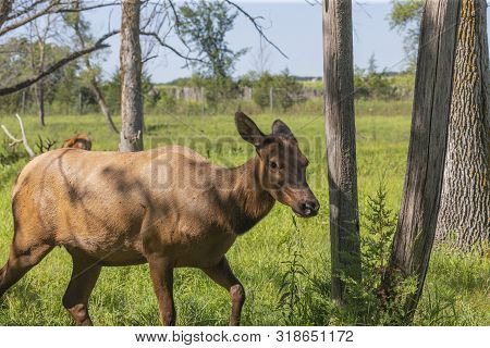 The Wapity Doe On Meadow In Conservation Wildlife Area