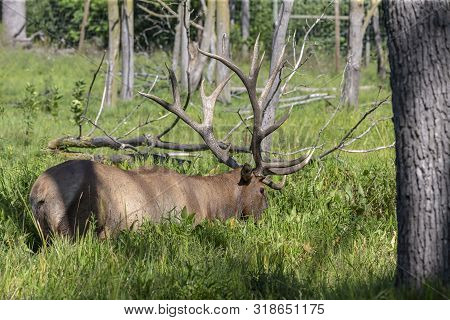 The Wapiti - Strong Elk In The Swamp Where It Partially Protects Against Invasive Insects In The Mud