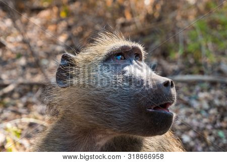Chacma Baboon Close-up Portrait In Victoria Falls National Park, Zimbabwe