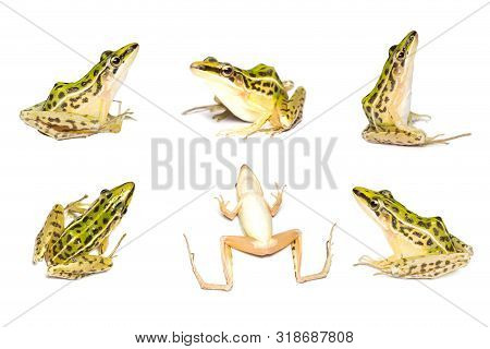 A Beautiful Common Green Water Frog. Isolated On White Background.the Collection Green Water Frog .