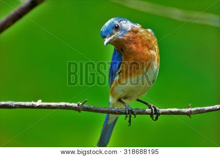Beautiful Oriole With Blue Plumage Sitting On A Branch On A Green Background. Colorful Bird With Ora