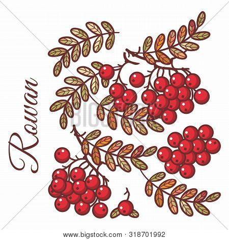 Rowan, Ash, Mountain Ash With Ashberry.leaves Of Mountain Wild Ash Berries In The Stained Illustrati
