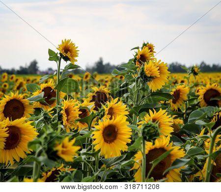 Sonnenblumenfeld Im Sommer Und Im Licht Der Sonne