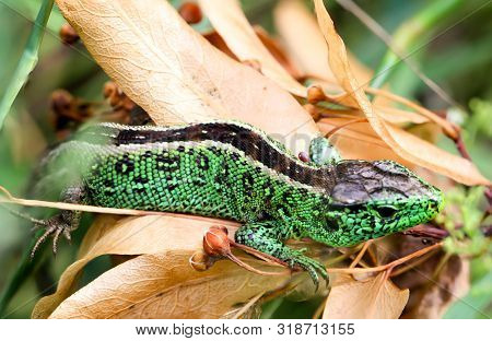 Male sand lizard in the grass, male lizards are more colorful poster