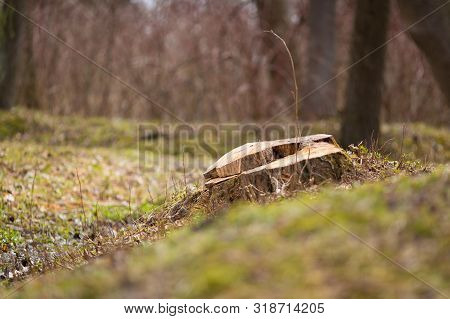 Early Spring Nature Photo. Tree Stub Among Old Dry Grass And Spring New Plants And Moss. Side View C